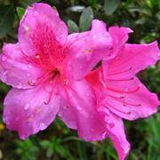 fioritura azalea