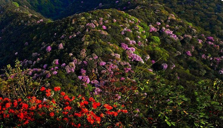 azalee di Jinfo Mountain