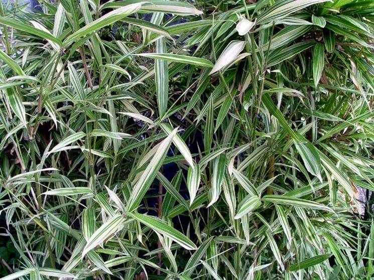 arundinaria variegata