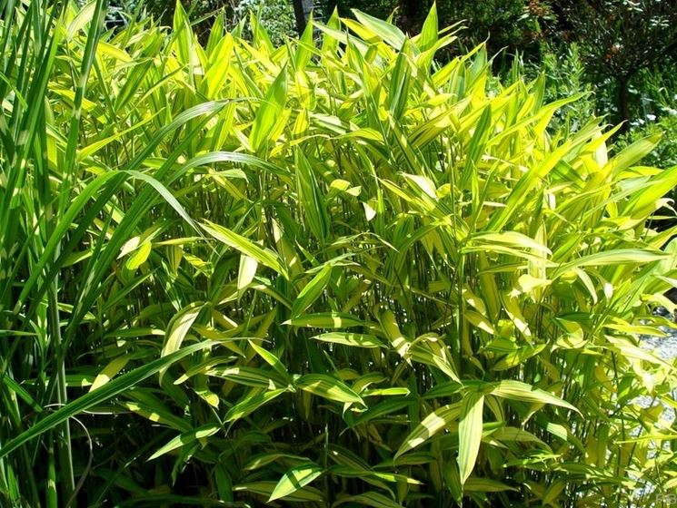 arundinaria viridistriata