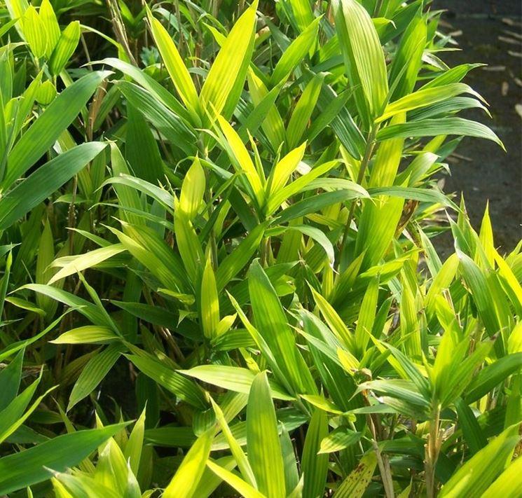 Bambù nano - Pleioblastus pygmaeus - Pleioblastus pygmaeus - Piante da Giardi...