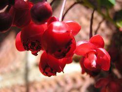 berberidopsis