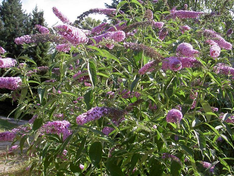 Buddleia buddleja alternifolia piante da giardino for Un rampicante fiorifero