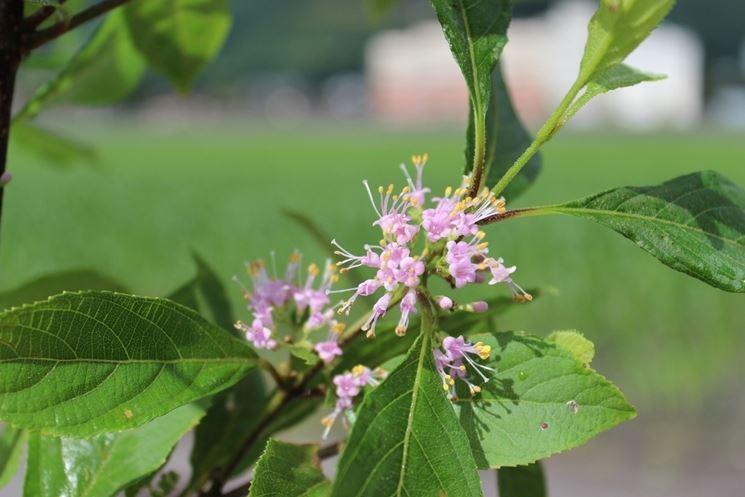 callicarpa fiori