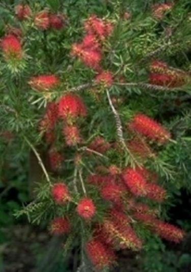 Callistemon callistemon piante da giardino for Piante da esterno resistenti al freddo