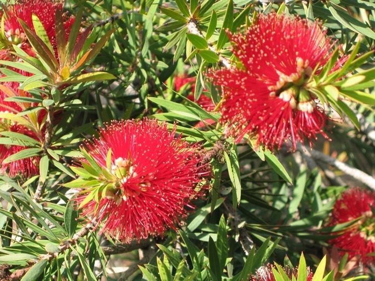 Callistemon callistemon piante da giardino for Arbusti ad alberello