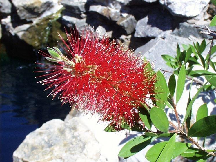 callistemon citrinus bloom