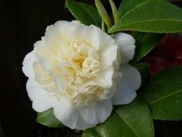 Camelia camellia japonica camellia japonica piante for Camelia rossa