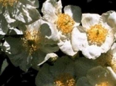 Anemone a cespuglio