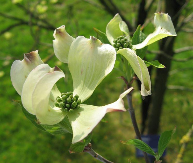 Corniolo pianta florida rubra