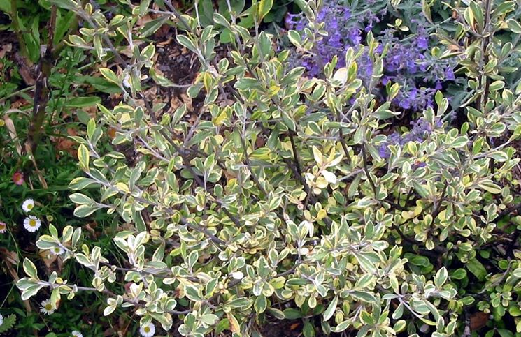 corokia variegata