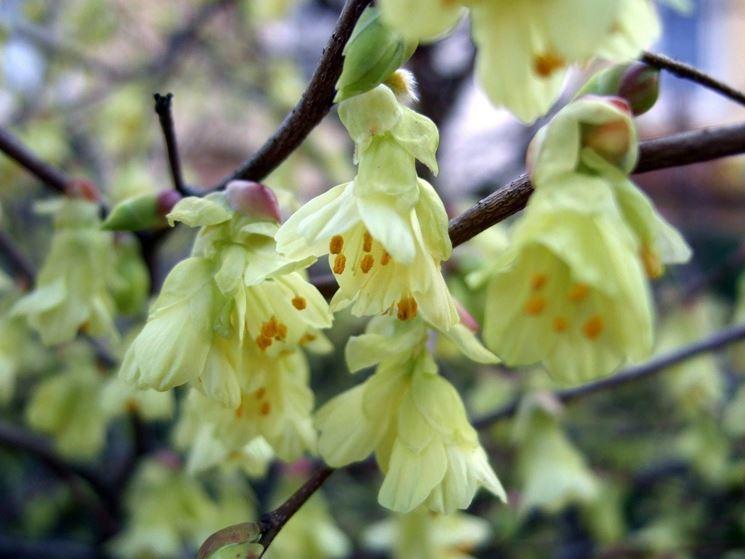 Corylopsis pauciflora corylopsis pauciflora piante da for Pianta nocciolo prezzo