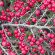 Cotonastro cotoneaster cotoneaster piante da for Lantana strisciante