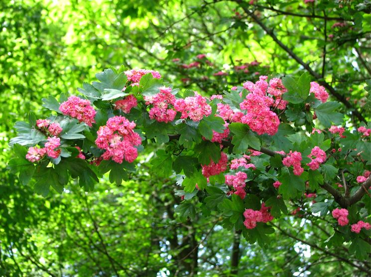 biancospino rosa