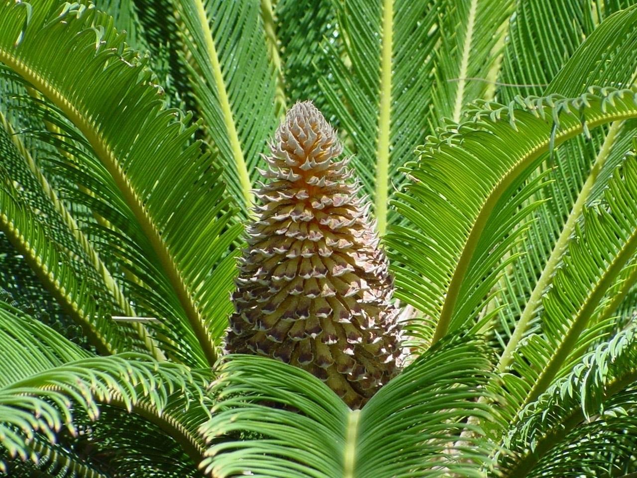 Palme Da Vaso Per Esterno palma nana - cycas revoluta - cycas revoluta - piante da