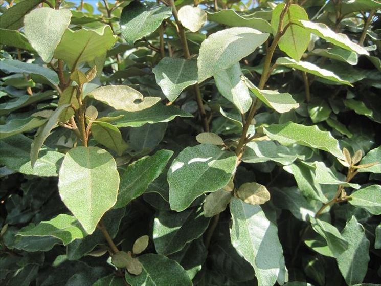 Olivagno eleagnus eleagnus piante da giardino for Piante da siepe