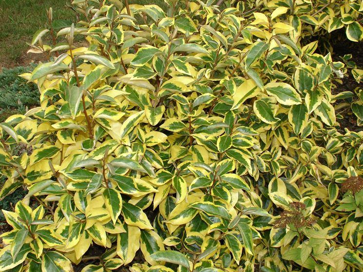 Olivagno eleagnus eleagnus piante da giardino - Sempreverde da giardino ...