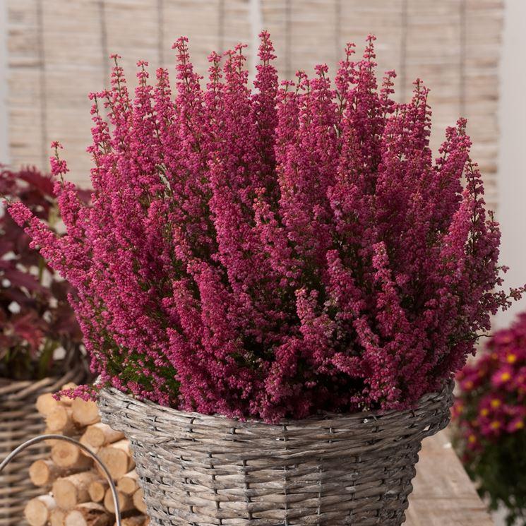Erica erica perenni erica perenni for Piante fiorite perenni da esterno