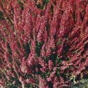 erica gracilis