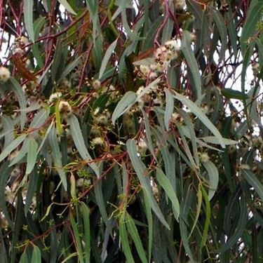 eucalyptus glob