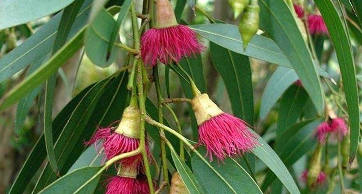 foglie eucalipto