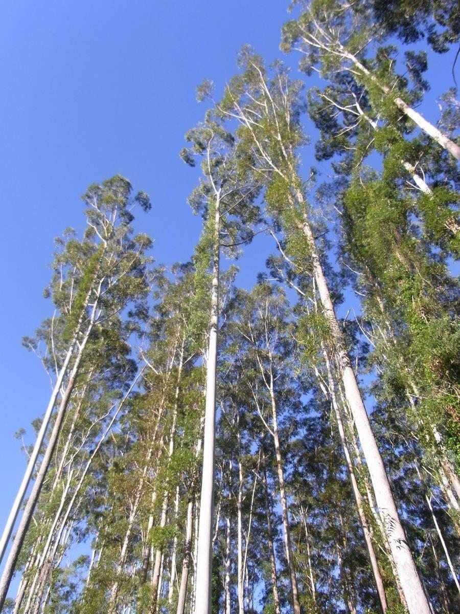 Acero Radici Invasive eucalipto - eucalyptus - eucalyptus - alberi - eucalipto