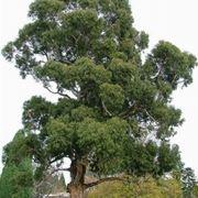 albero eucalipto