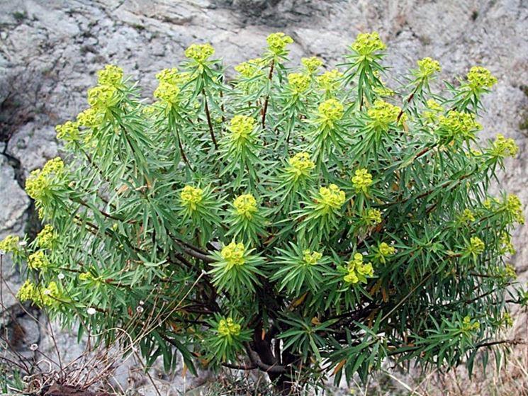 euforbia dendroides