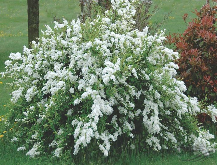 exochorda x macrantha the bride eb