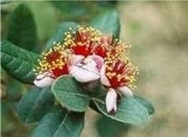 Feijoa fiore