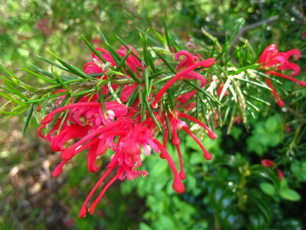Pianta Simile Al Rosmarino grevillea rosmarinifolia - grevillea rosmarinifolia - piante