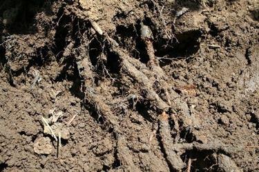 radici con armillaria