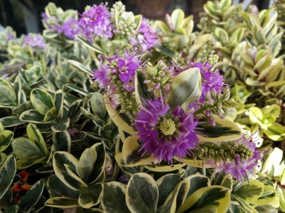 Fiori di veronica fiori di piante for Pianta fiorita da esterno
