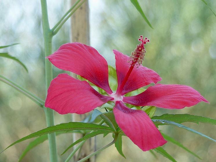 ibiscus coccineus fiorito