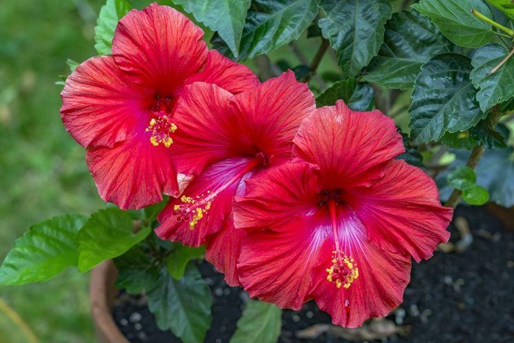 Ibisco coltivazione hibiscus hibiscus piante da - Grossi fiori da giardino ...