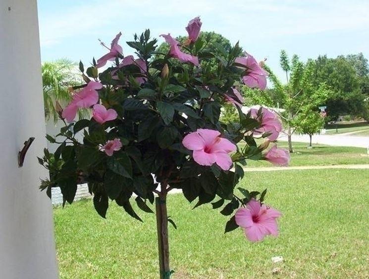 Ibisco coltivazione hibiscus hibiscus piante da for Arbusti ad alberello