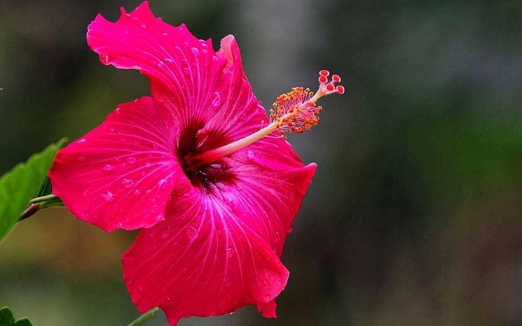 Ibisco coltivazione hibiscus hibiscus piante da for Ibisco rosso