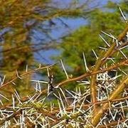 olivello spinoso pianta