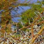 arbusti spinosi