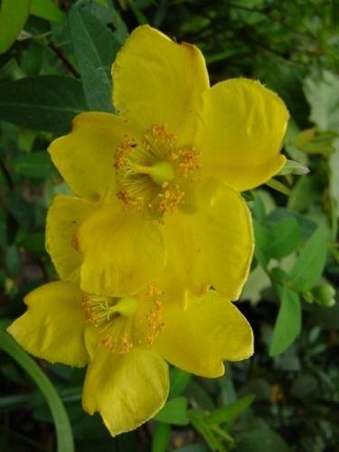 hypericum patulum hidcote gold