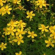 fiore iperico