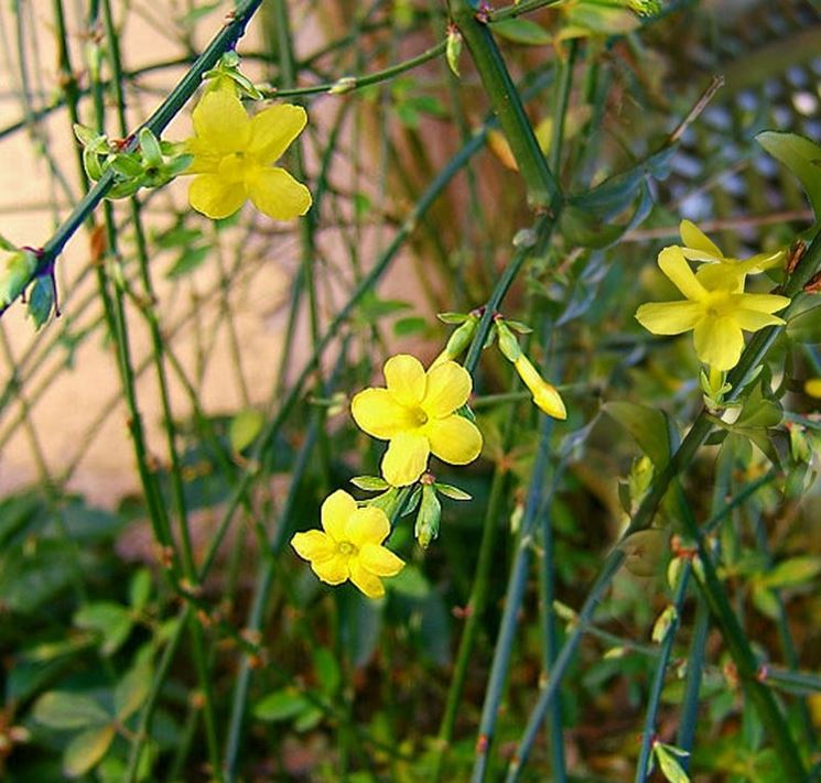 Gelsomino dinverno, G. di S. Giuseppe - Jasminum ...
