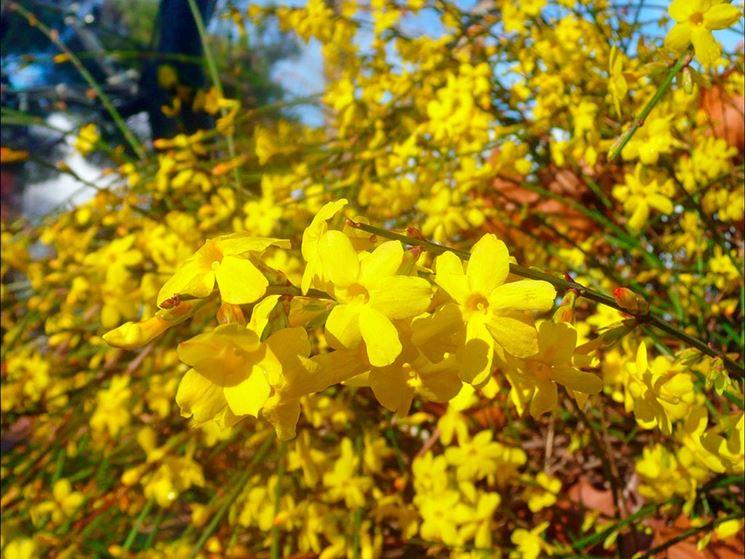 Gelsomino giallo
