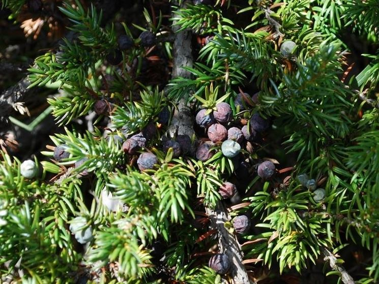 juniperus communis gold cone