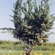 pianta di ginepro