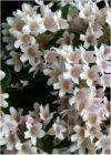 """Kolkwitzia amabilis"""""""