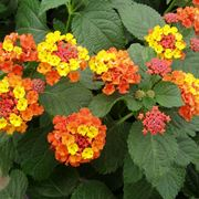 Fiori Gialli Rotondi.Piante Da Giardino A Fiore Giallo