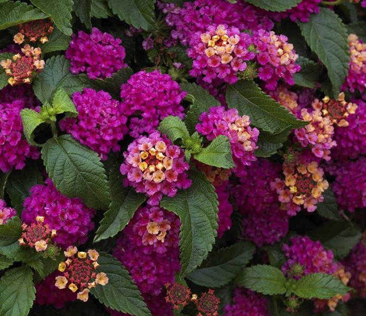 Lantana lantana piante da giardino caratteristiche - Nomi di piante da giardino ...