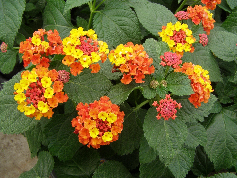 Fiori Perenni Da Balcone lantana - lantana - piante da giardino - caratteristiche