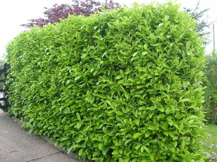 lauroceraso prunus laurocerasus prunus laurocerasus piante da giardino potatura lauroceraso. Black Bedroom Furniture Sets. Home Design Ideas